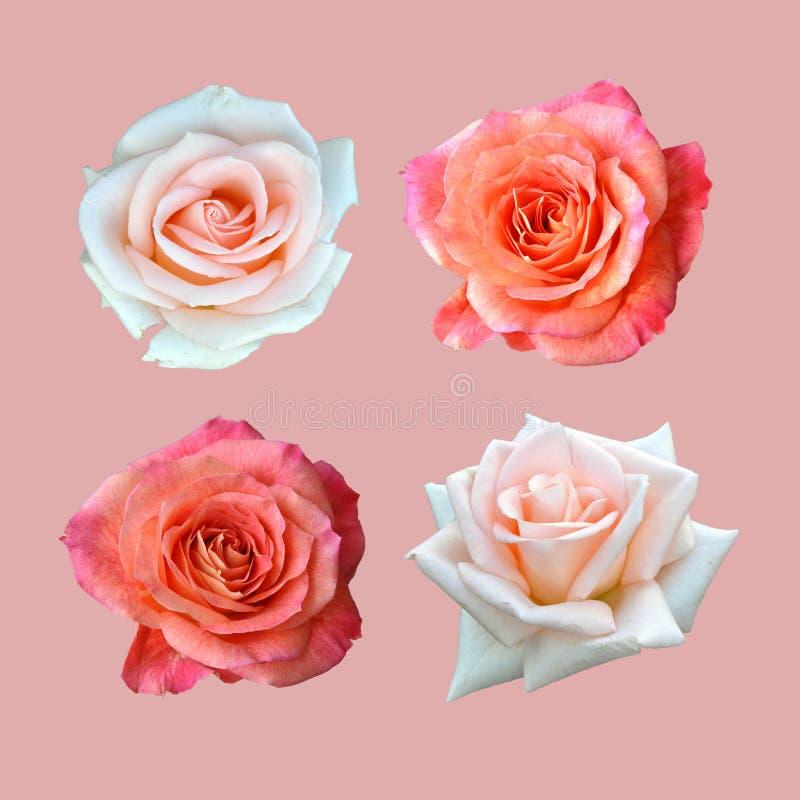 Rote und weiße Rosen lokalisiert auf rosa Hintergrund stockbilder