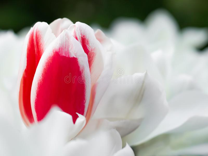 Rote und weiße Tulpe in botanischem Garten Kaukenhof, Holland stockbild