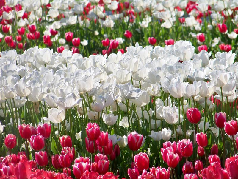Rote und weiße Tulpen lizenzfreie stockfotografie