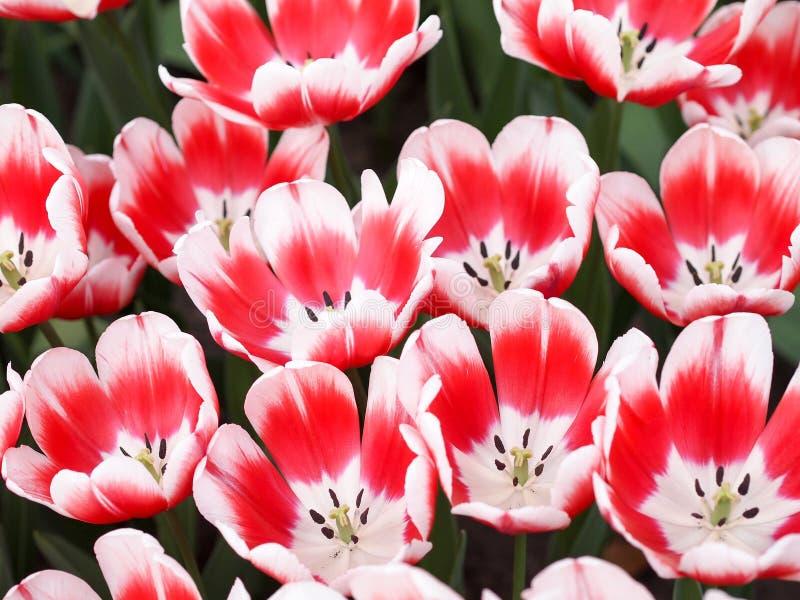 Rote und weiße Tulpen stockbilder