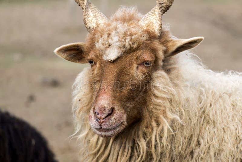 Rote ungarische Racka-Schafe mit schraubenartigen schraubenartigen Hörnern lizenzfreie stockfotos