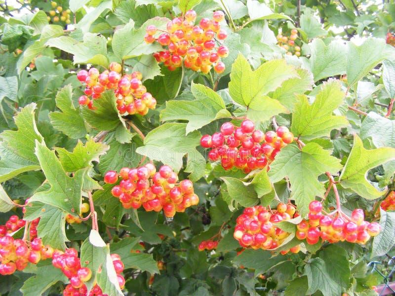 Rote Viburnumbündel auf dem Baum, Nahaufnahme des unausgereiften Viburnumbündels stockbild