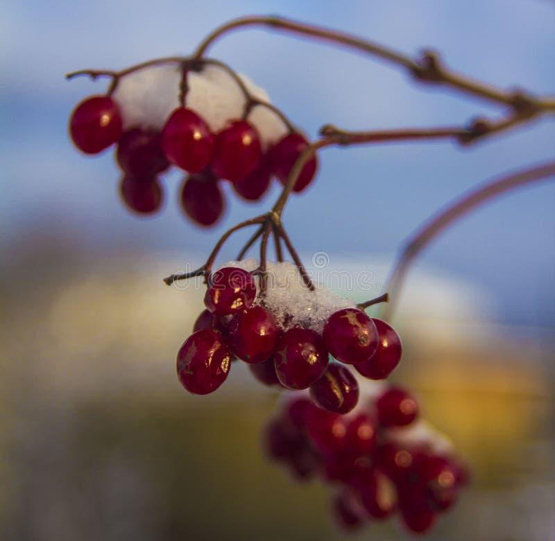 Rote Viburnumbeeren im Garten im Spätherbst lizenzfreie stockbilder