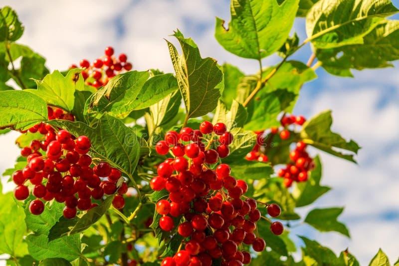 Rote Viburnumniederlassung im Garten, Beeren reifen gegen den Himmel lizenzfreies stockfoto