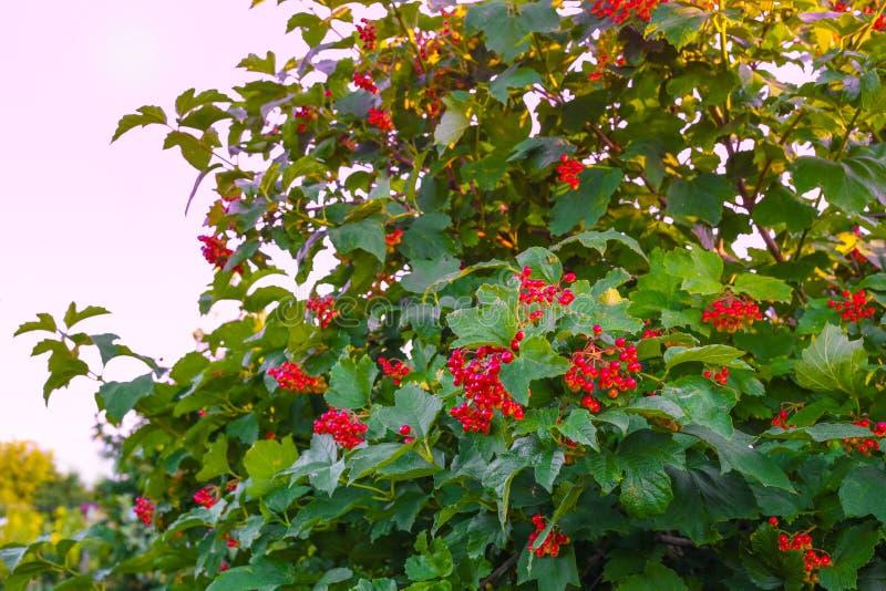 Rote Viburnumniederlassung im Garten Viburnum Viburnum opulus Beeren und Bl?tter, die im Herbst im Freien sind, fallen B?ndel des lizenzfreies stockbild