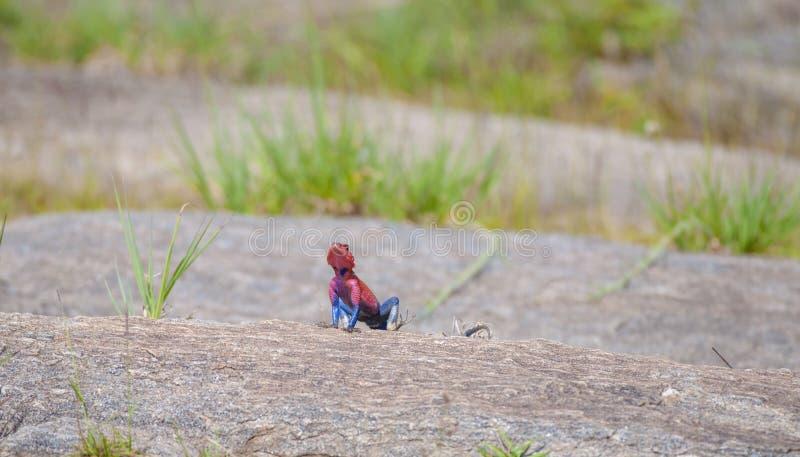 Rote vorangegangene Felsendickzungeneidechse stockbild