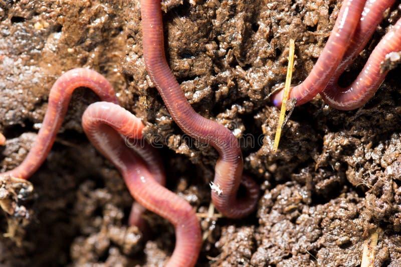 Rote Würmer im Kompostmakro lizenzfreies stockbild