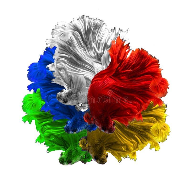 Rote weiße grüne siamesische kämpfende FI des gelben und blauen Farbdrachen lizenzfreie stockfotografie