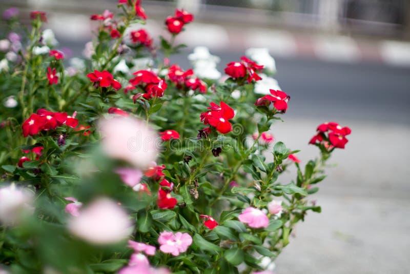Rote weiße rosa kleine Straßen-Blume mit Straßen-Hintergrund lizenzfreie stockfotografie