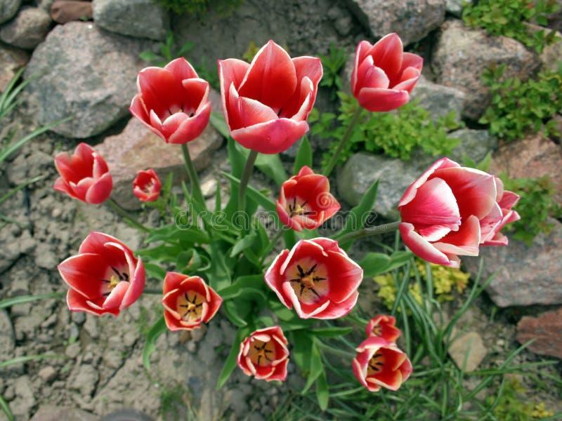 Rote weiße Tulpen lizenzfreie stockbilder