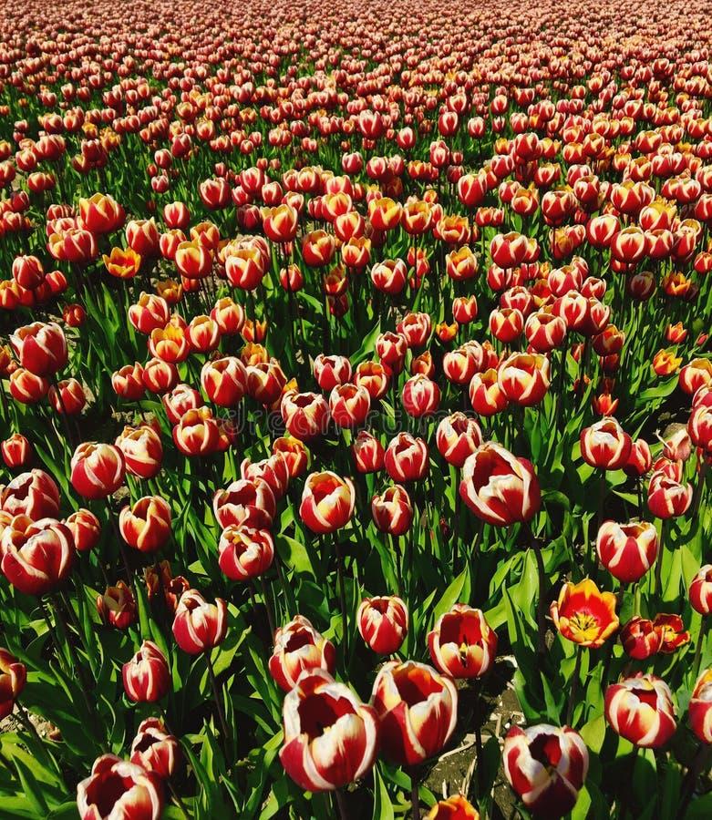 Rote weiße Tulpen auf dem Gebiet Zeewolde stockfotos