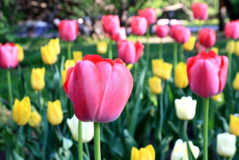Rote, weiße und gelbe Frühlingsmehrfarbentulpen stockfotos