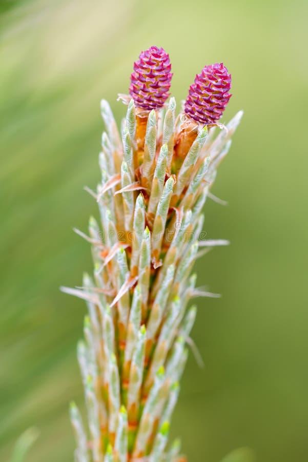 Rote weibliche Blume der Kiefers lizenzfreies stockbild