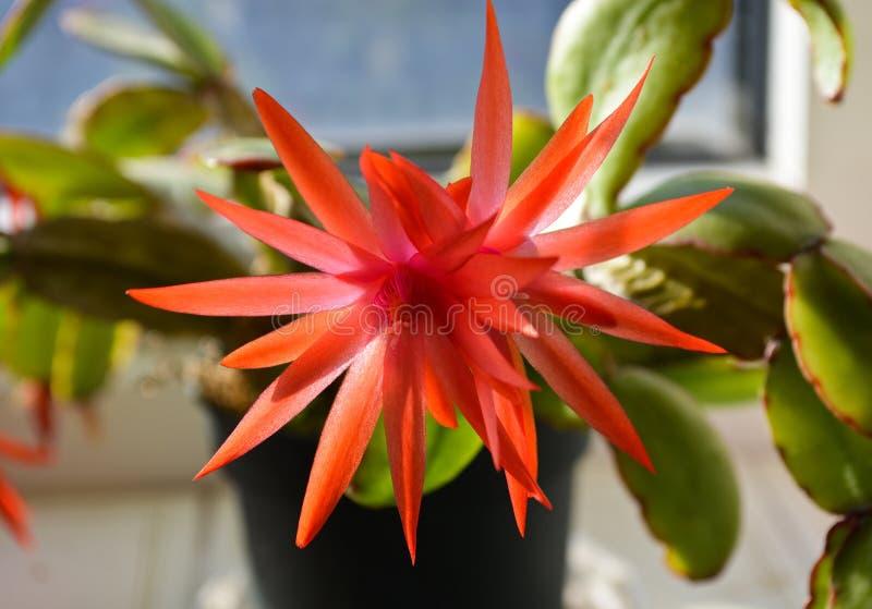 Rote Weihnachtskaktuss-Blume stockfoto