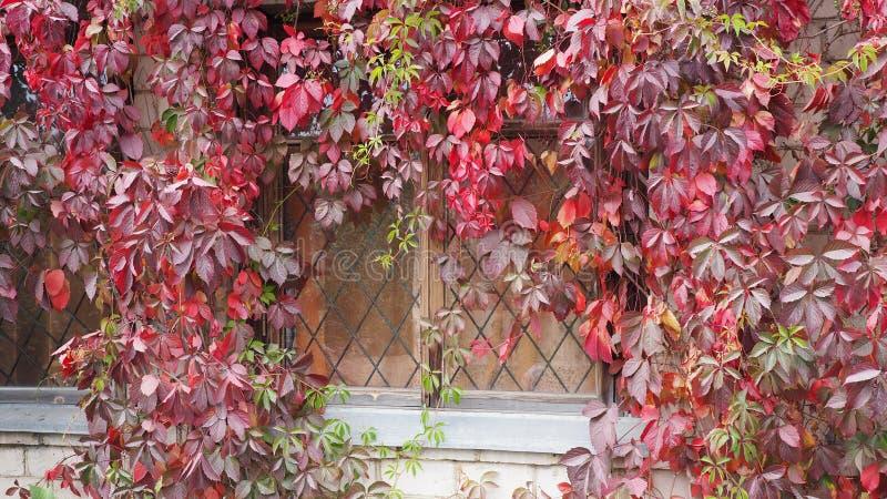 Rote Weinblätter auf einem alten Fenster des Familiensommerhauses im Herbst arbeiten im Garten lizenzfreies stockfoto