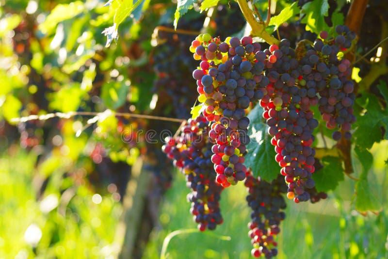 Rote Weinreben lizenzfreie stockbilder