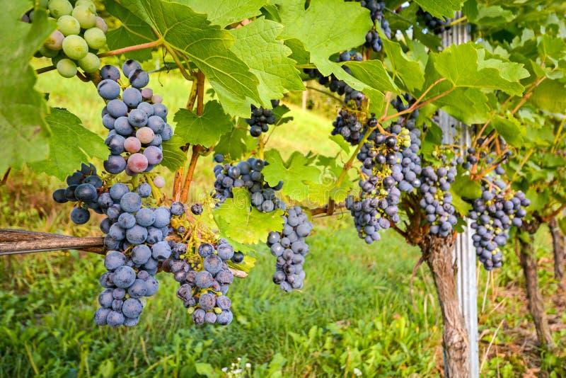 Rote Weinreben in einem Weinberg vor Ernte im Spätherbst stockfoto