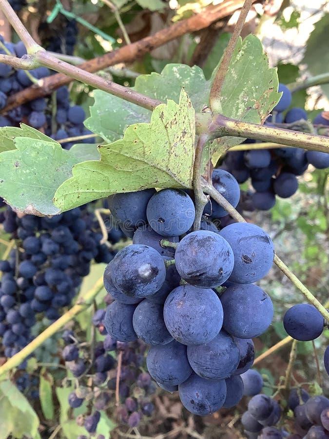 Rote Weintrauben auf Weinbergen in der Gartenfamilie lizenzfreie stockbilder
