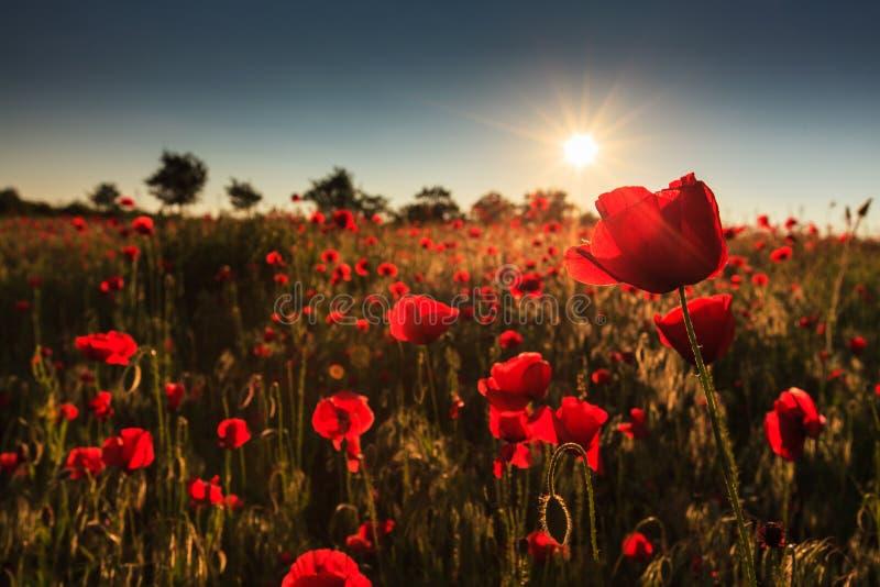 Rote wilde Mohnblumen und ländliche Felder lizenzfreies stockbild