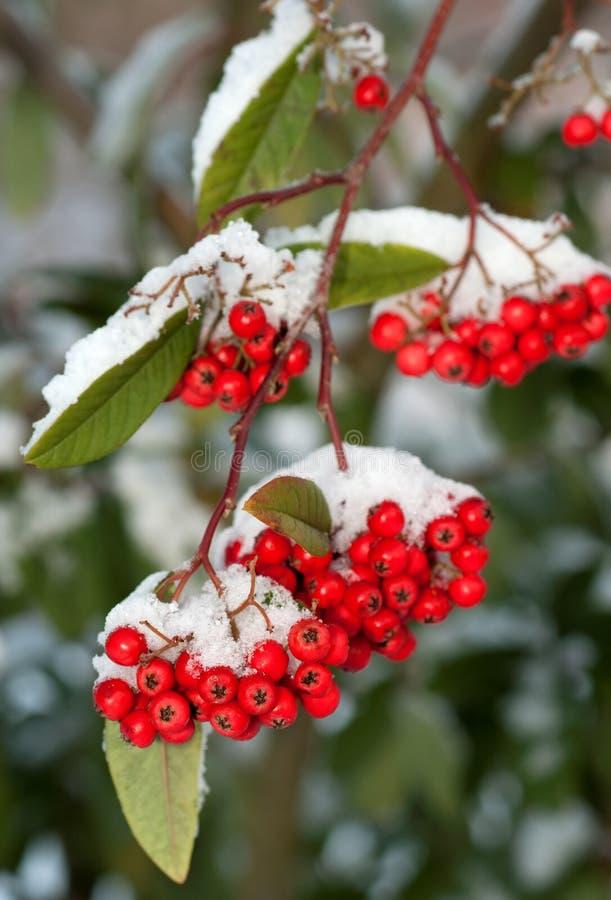 Rote Winter Beeren stockfoto Bild von nave schönheit