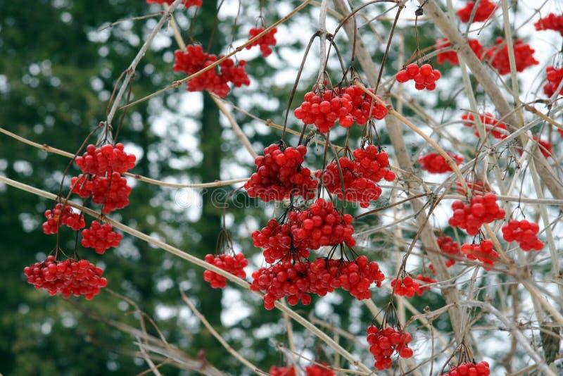 Rote Winter-Beeren stockfotografie
