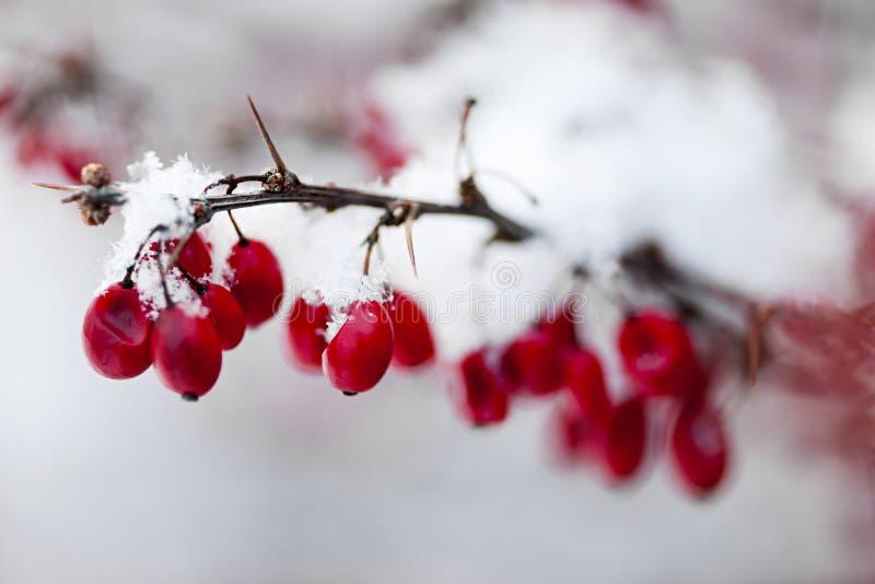 Rote Winterbeeren unter Schnee lizenzfreies stockbild