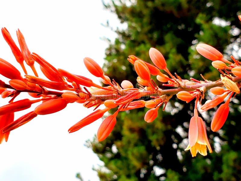 Rote Yuccablüte lizenzfreies stockbild