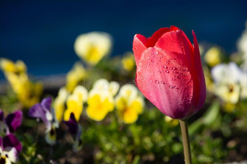 Rote Zeit der Tulpennahaufnahme im Frühjahr lizenzfreies stockfoto