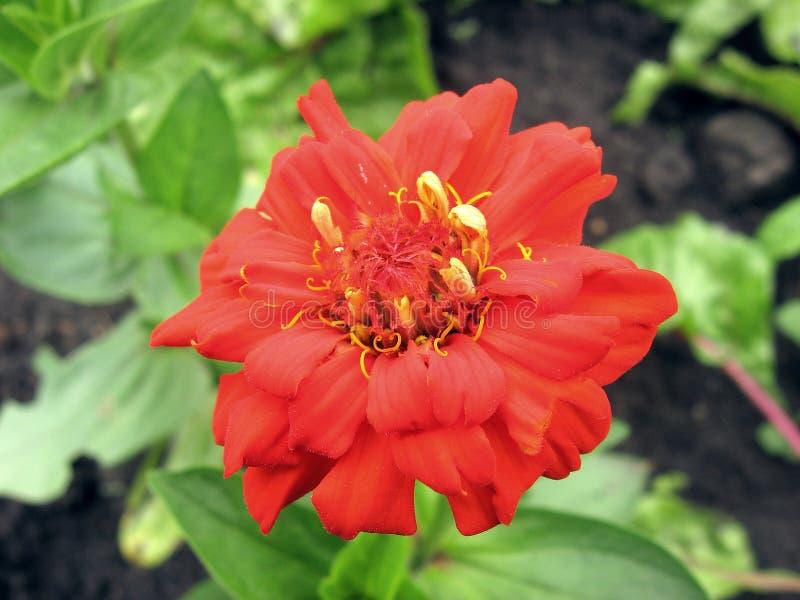 Rote Zimtblume stockbild