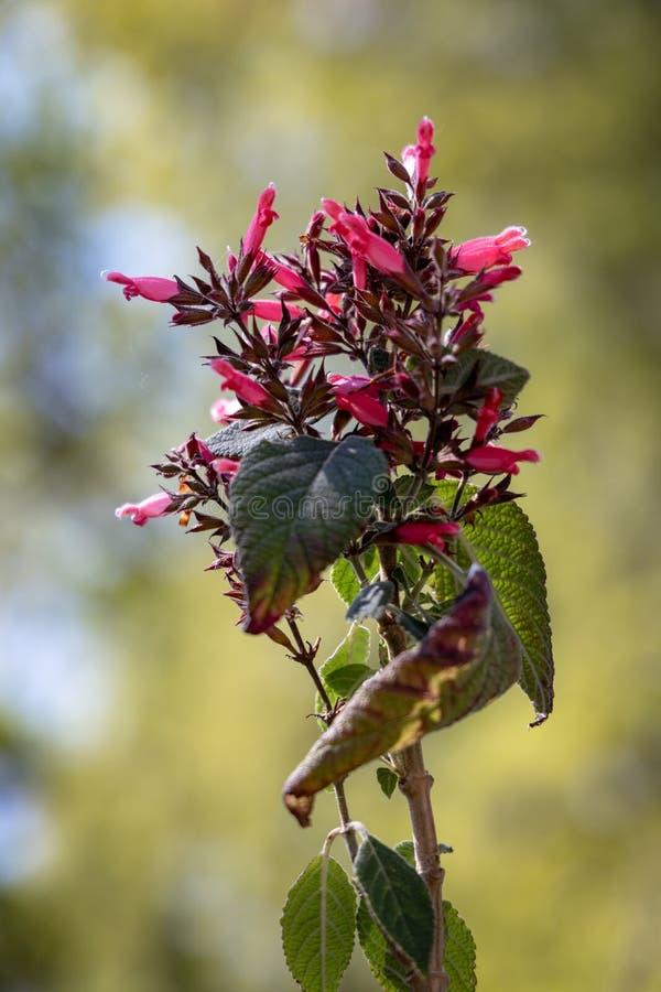 Roten blühenden Karwinkiis Sage Salvia-karwinskii Benth stockfotos