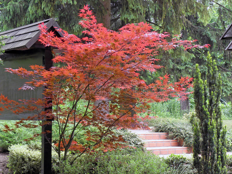 Roter Acer stockfotografie