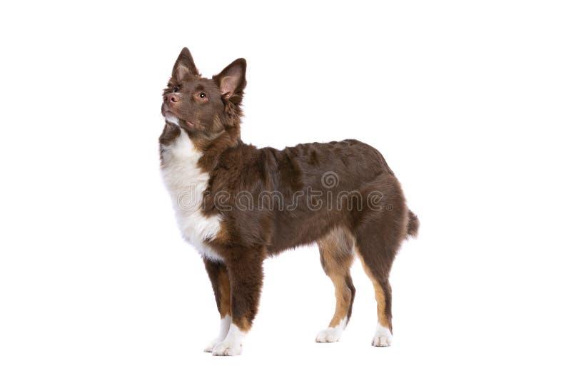 Roter amerikanischer Sch?ferminiaturhund stockbilder