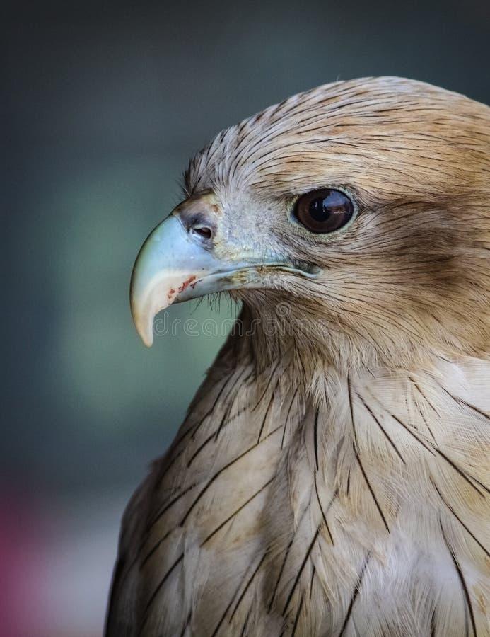 Roter angebundener Falke stockfotos