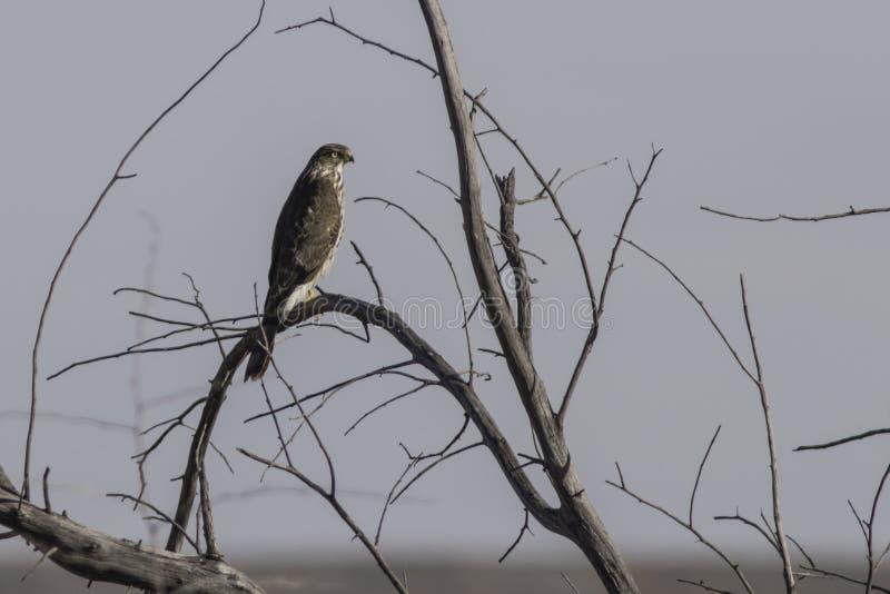 Roter angebundener Falke stockfoto