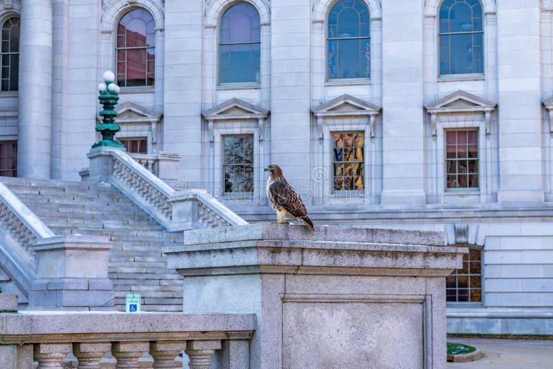 Roter angebundener Falke auf einer Leiste am Staat Wisconsin-Kapital in Madison lizenzfreie stockbilder