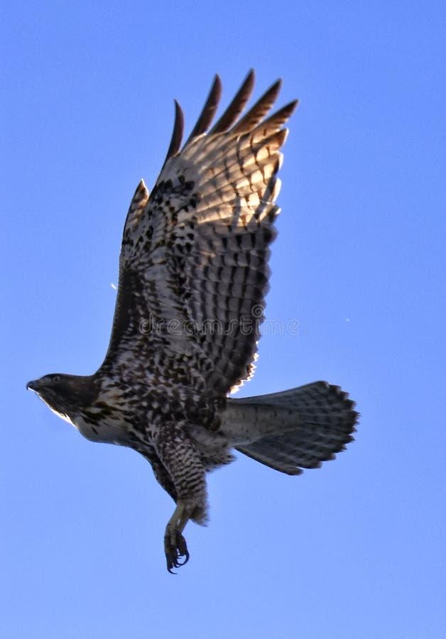 Roter angebundener Falke im Flug lizenzfreie stockbilder