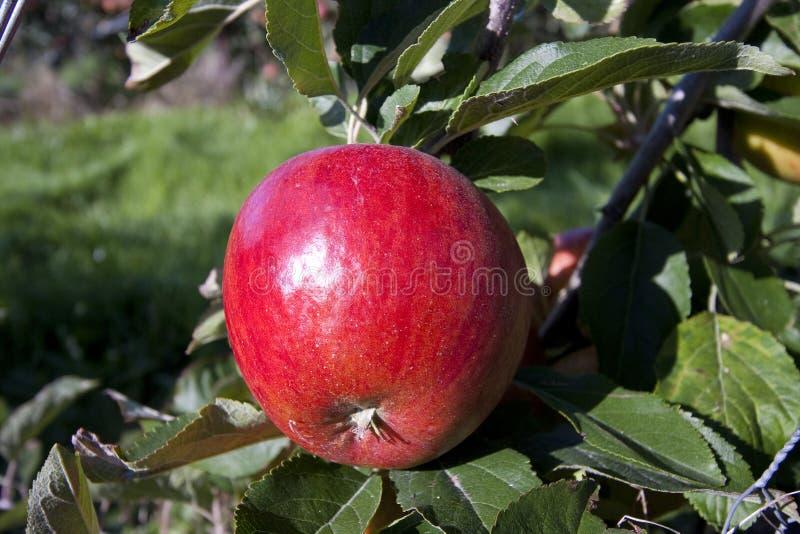 Roter Apfel, der in einem Obstgarten wächst stockbild