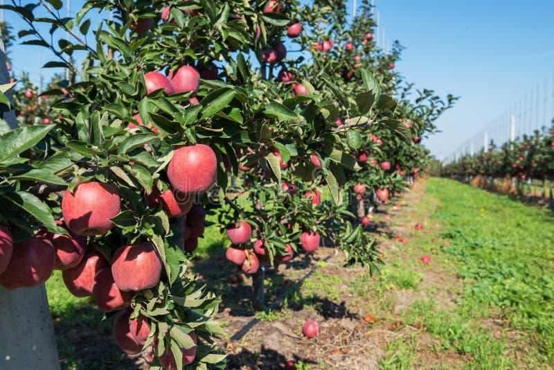 Roter Apfelgarten in Polen stockbild