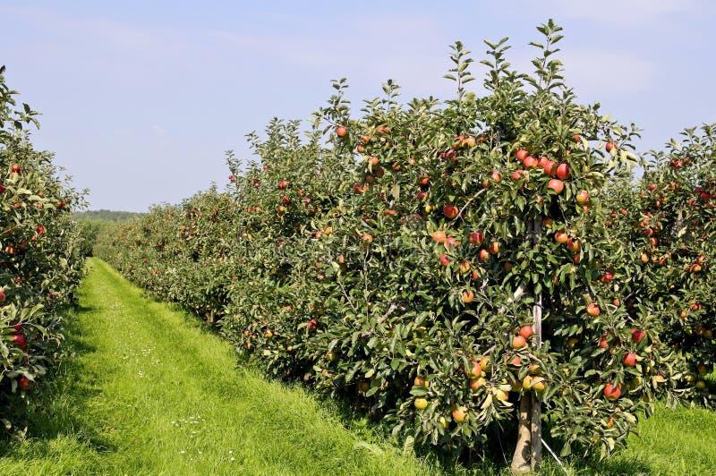 Roter Apfelobstgarten stockfoto