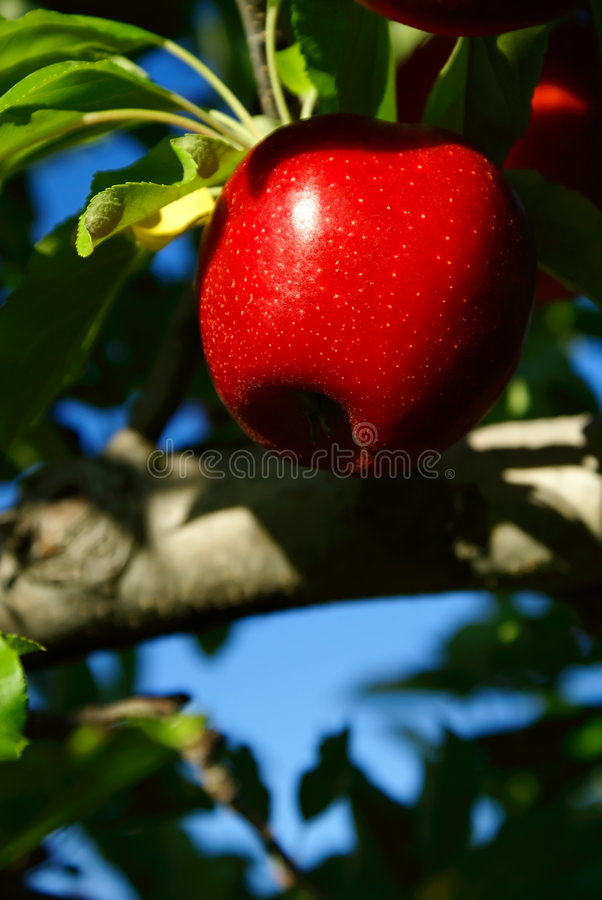 Roter Apple lizenzfreie stockfotos
