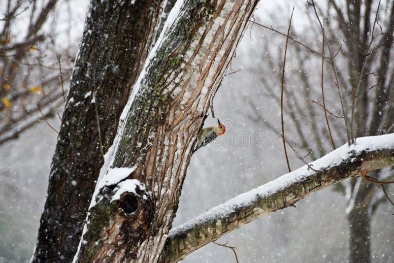 Roter aufgeblähter Specht hockte auf einem Baum in einem Schnee-Sturm lizenzfreies stockbild