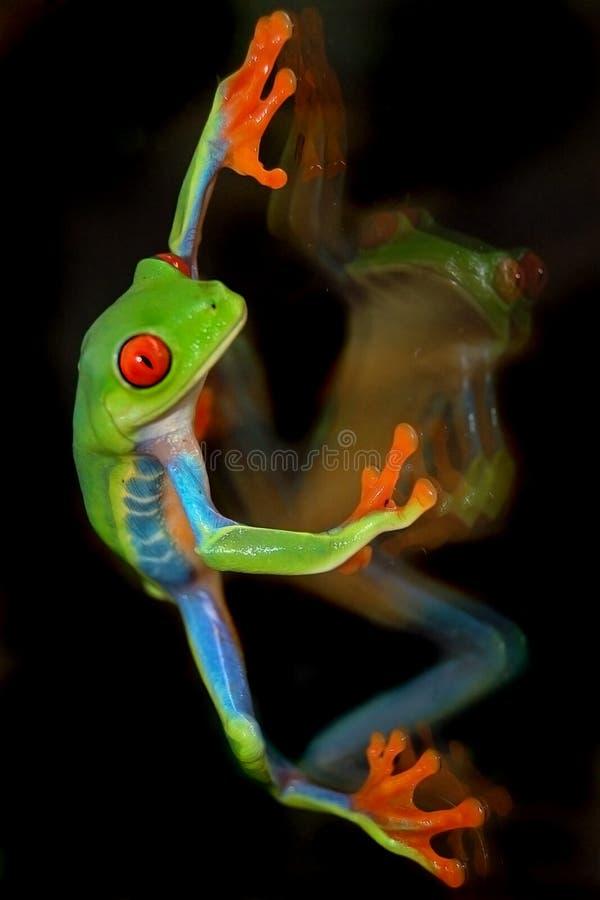 Roter Augen-Baum-Frosch auf Glas lizenzfreie stockfotografie