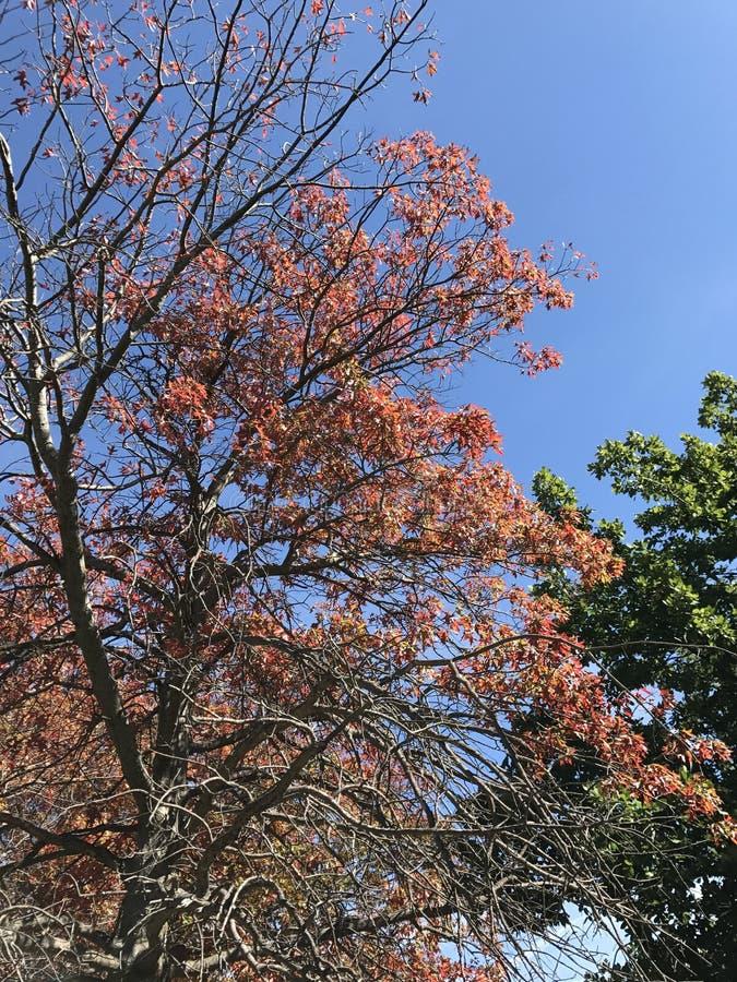 Roter Autumn Tree lizenzfreie stockfotografie