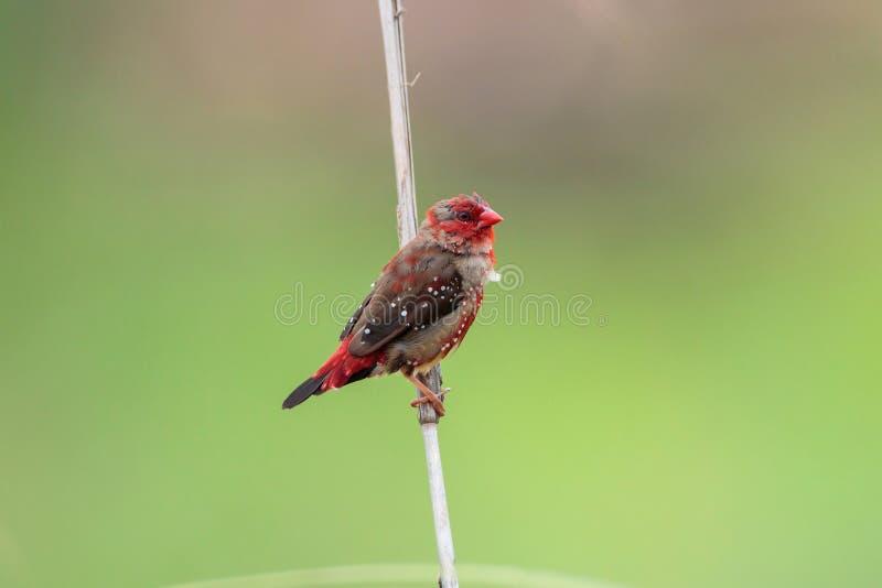 Roter Avadavet-Vogel [Amandava-amandava] stockfoto