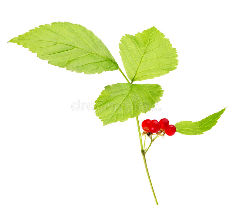 Roter Baneberry lokalisiert auf Weiß stockfoto