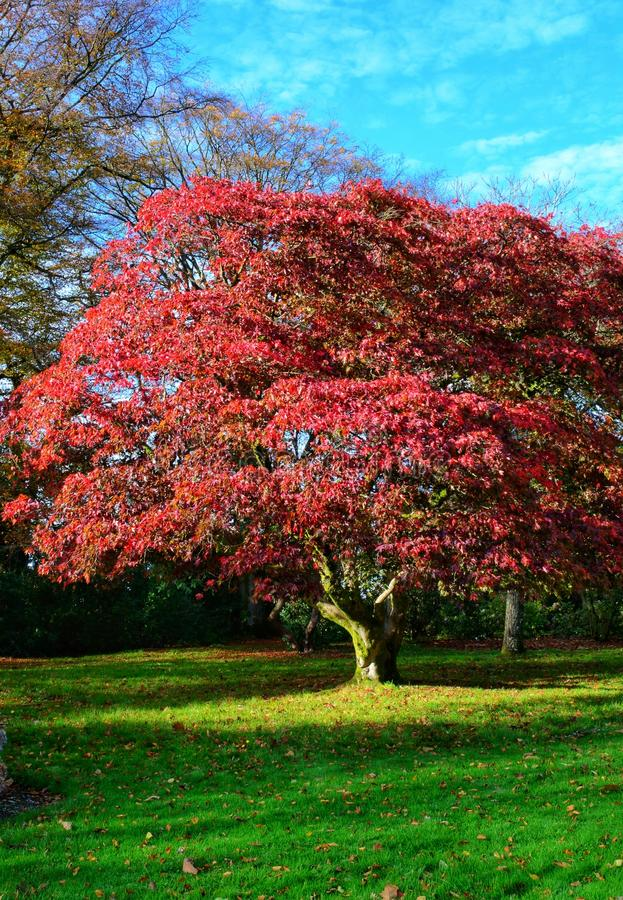 Roter Baum stockfotos