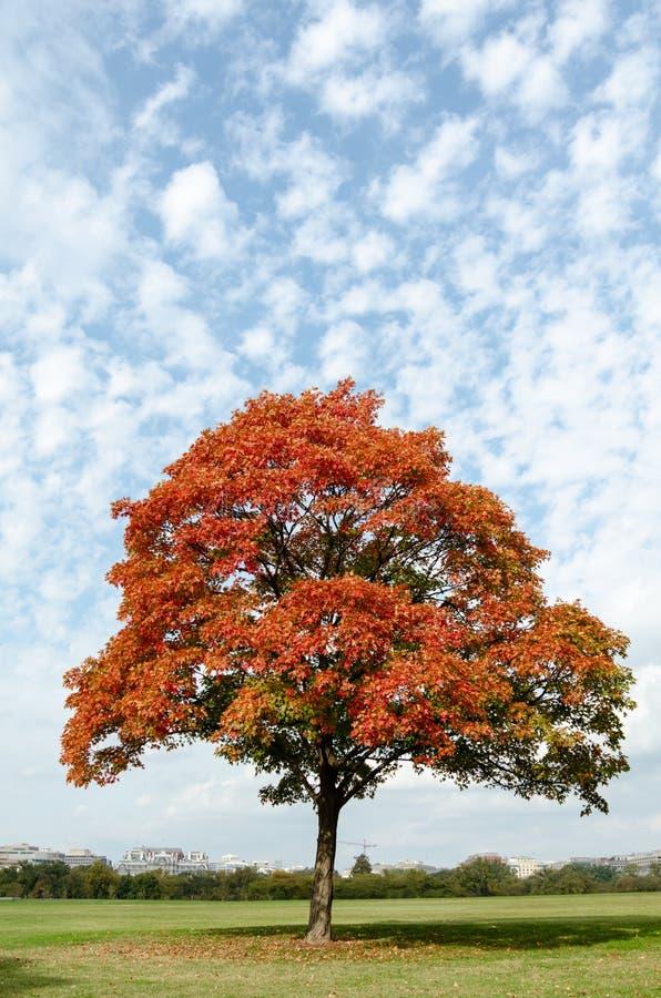 Roter Baum herein im Park stockbilder