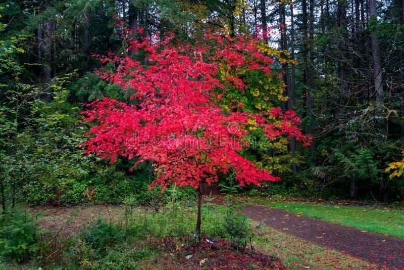 Roter Baum im Herbst stockfoto