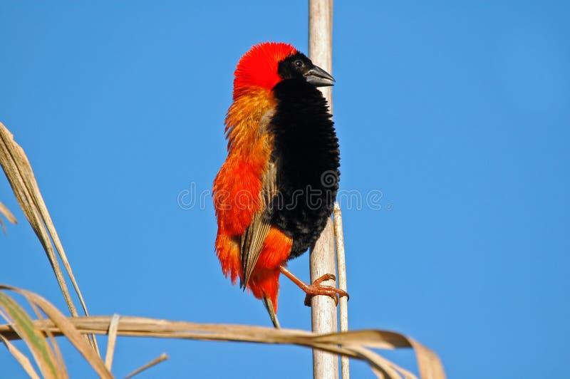 Roter Bishop, blauer Himmel. lizenzfreies stockbild