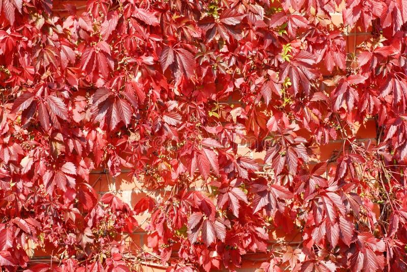 Roter Blathintergrund stockfotos